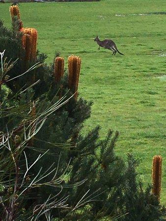 Kookaburra Motor Lodge: Frolicking kangaroo