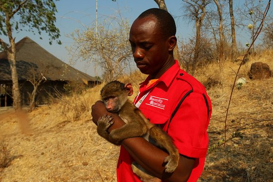 Kasane, Botsuana: Baby baboon, being taken care of by caretaker