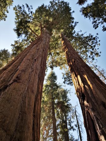 Three Rivers, Kalifornien: Giant Sequoias Trees in the national park
