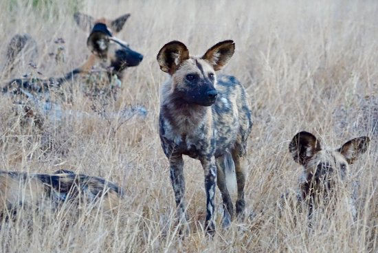 Ngala Private Game Reserve, South Africa: African Wild Dogs aka Painted Dogs