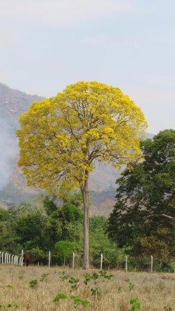 Caceres, MT: Vista Ypê florido dentro da área da fazenda