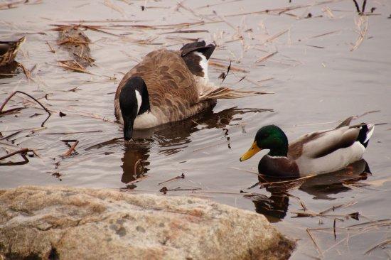 Mount Desert Island, Μέιν: Canada Goose & Mallard Duck feeding in pond