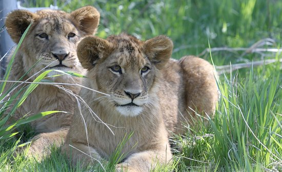 Orono, Καναδάς: Lion Cubs