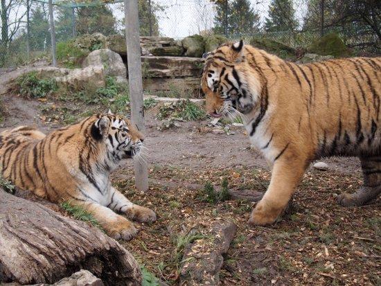 Orono, Καναδάς: Tiger Enclosure