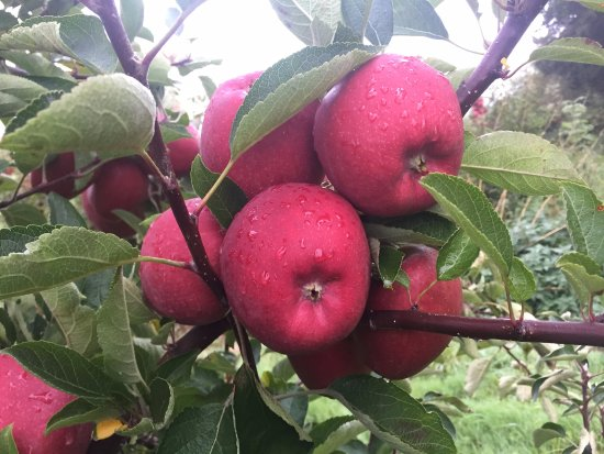 Bilting, UK: Apples in the orchards