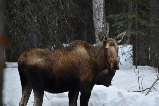 Cantwell, AK: Moose