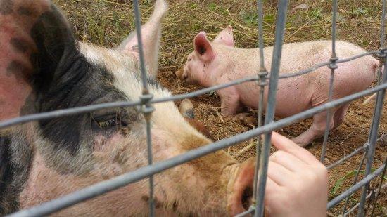 Fairview, NC: Babie pigs