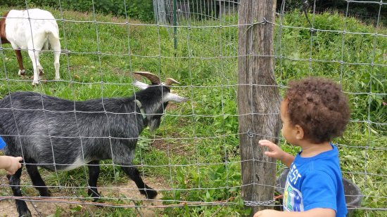 Fairview, NC: baby goats