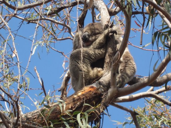 Raymond Island: Koalas everywhere