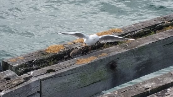 Busselton, Australia: nesting gulls in the framework of the jetty