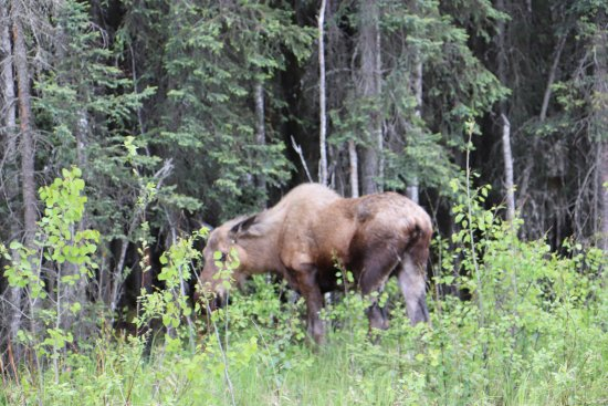Sterling, AK : Moose eating along the3 road, just out the front door