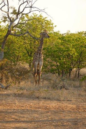 Ghanzi, Botswana: I finally the giraffes at DQ!
