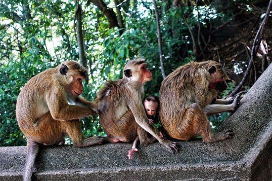 Νταμπούλα, Σρι Λάνκα: обезьянки