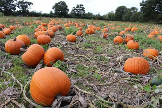 Esher, UK: Pumpkin patch