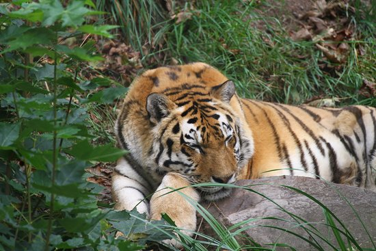 Zoo Plzeň: Amur Tiger