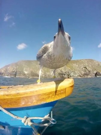 Cadgwith, UK: Derek the Cadgwith Cove Seagull. A local celebrity reared by a local fisherman and very friendly
