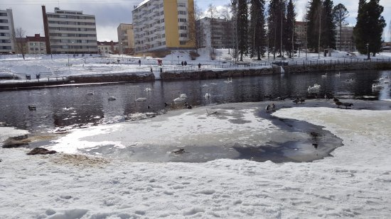 Swans near the Kajaani castle ruins in April 2017