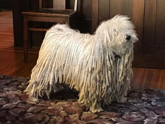 "Red Wing, MN: This is their Hungarian Puli, ""Mister"". The dreadlocks occur naturally."