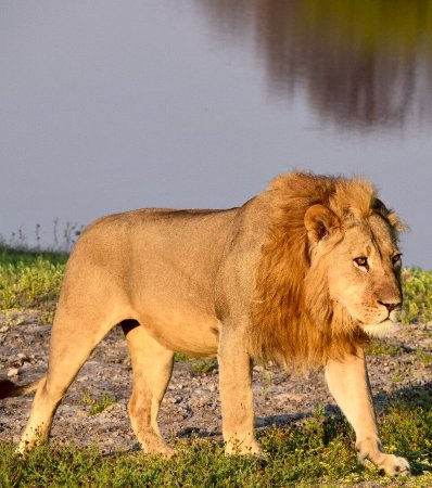 Hwange, Zimbabve: Everyone comes to Africa with a dream to see a lion. Dream fulfilled!
