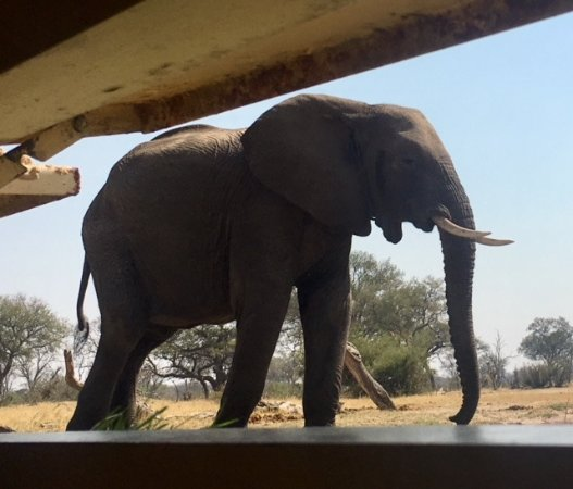"Hwange, Zimbabve: Not far from Camelthorn is an ""elephant blind"" (think of a deer blind, but for elephants."