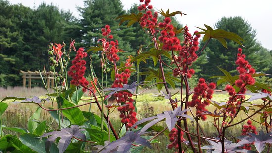Lee, NH : castor bean plant