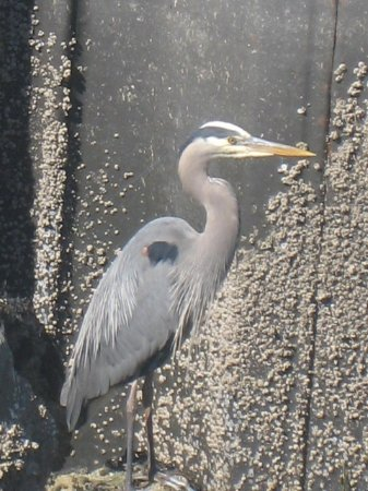 Edmonds, WA: Heron below the Pier