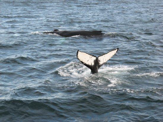Dalvik, Iceland: Fluke of a humpback whale