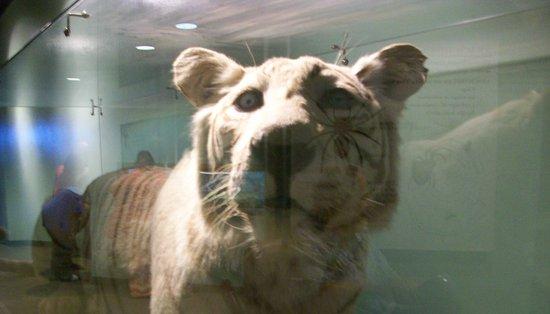 Rosamond Gifford Zoo: Tiger