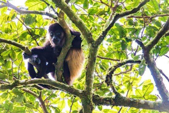 Mombacho Volcano: A howler monkey watching us hike