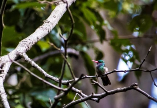 Ticuantepe, Nicaragua: Ruby-billed hummingbird out on our hike