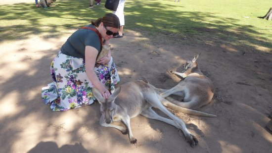Lone Pine Koala Sanctuary: The kangaroos are very laid back and let people  stroke them