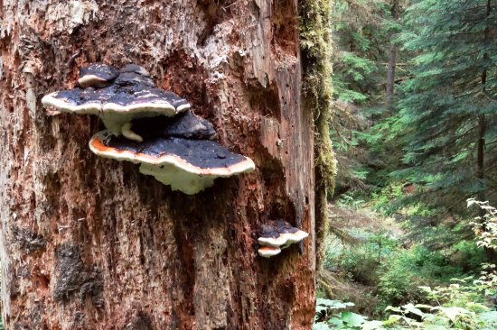 Quinault, WA: giant fungus