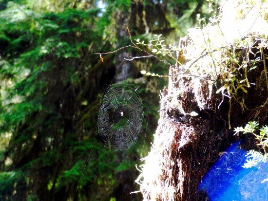 Quinault, WA: spider web