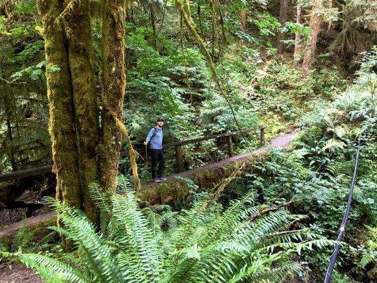 Quinault, WA: cool fallen tree converted bridge