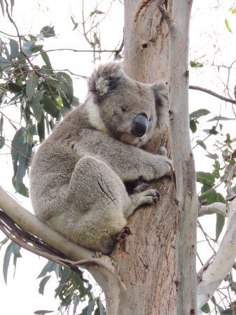 Hanson Bay, Australia: Guaranteed to see Koalas