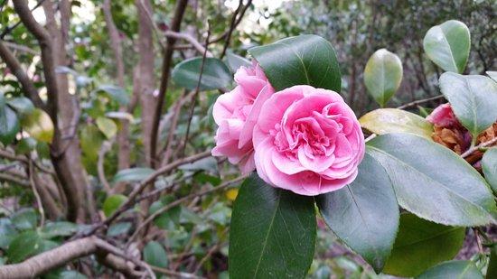Blackheath, Australia: Pink Camila