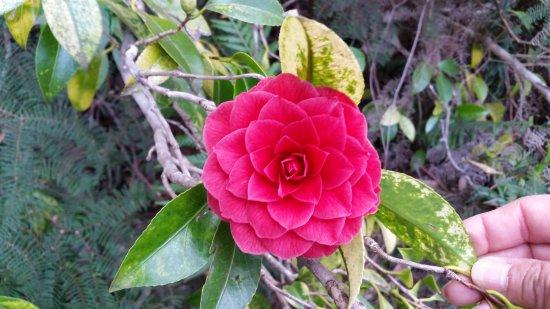 Blackheath, Australia: Red Camilia
