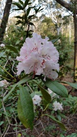 Blackheath, أستراليا: Pink Rhododendron