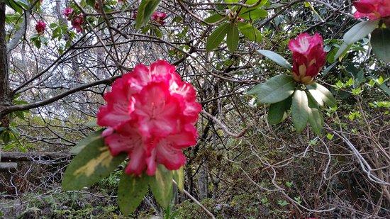 Blackheath, أستراليا: red/pink rhododendron