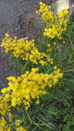 Blackheath, أستراليا: Yellow Wattle