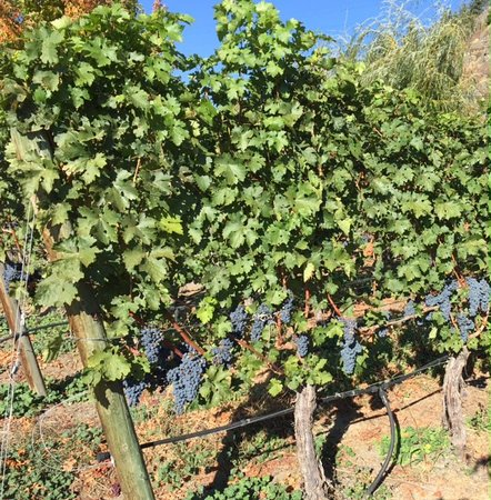 Penticton, Canada: Lots of grapes hanging on the vines