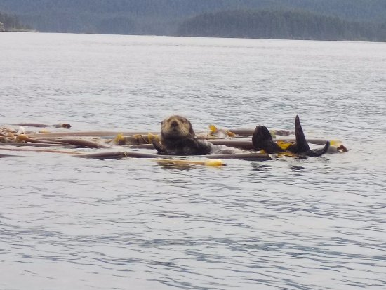 True North Kayak Adventures: Our otter friend hanging out in some kelp