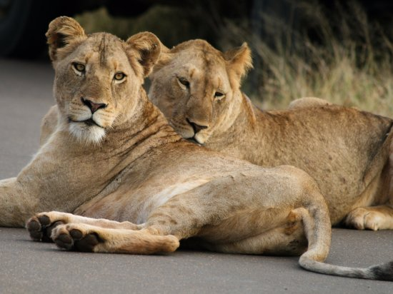 Marloth Park, África do Sul: Lionesses in the road