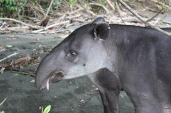 Puerto Jimenes, Costa Rica: Tapir