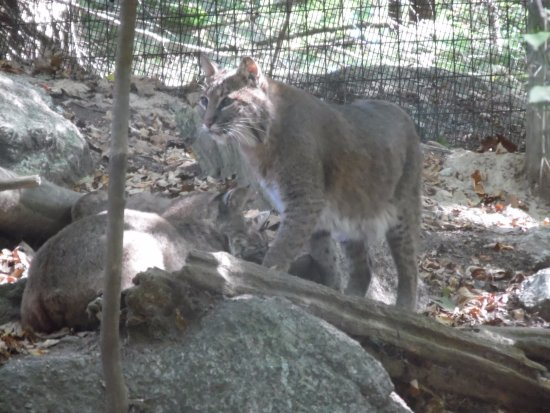 Squam Lakes Natural Science Center : Bobcat