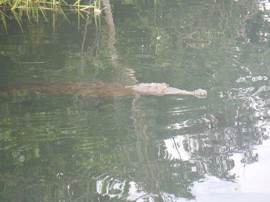 Panama Canal Fishing: Crocodile