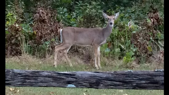 Candlewyck Cove Resort: Seen as we drove up the driveway entrance. Baby was close by.