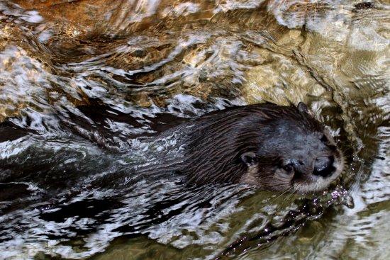 مونتريال, كندا: Otter that went back and forth in its little creek . . .