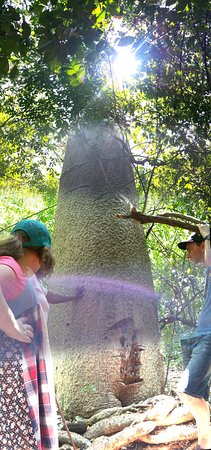Colobus Conservation: Baobab Tree on the brief nature walk