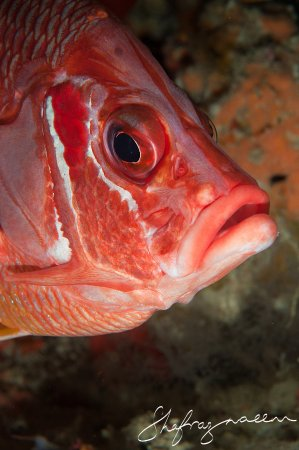 Bodufolhudhoo : Grumpy Squirrel Fish